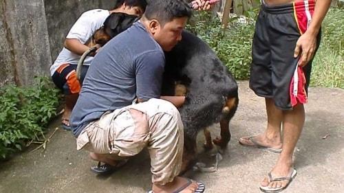 Dog Stud Mating Aneka Petindo